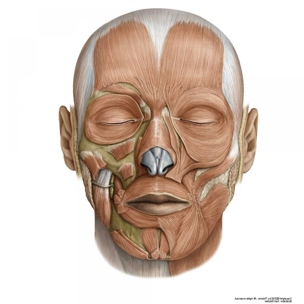 insan yüzü anatomisi