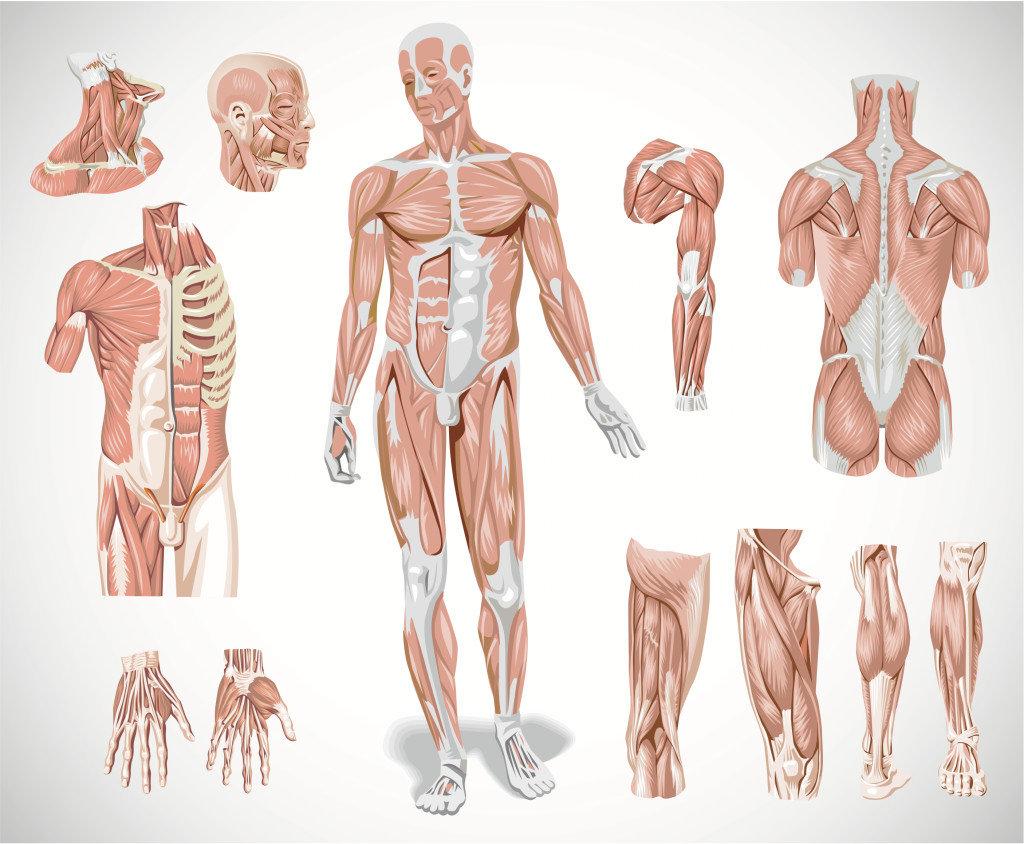 insan vücudu anatomisi
