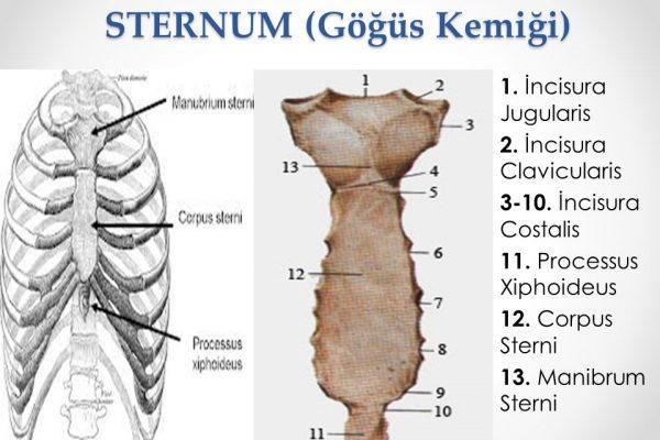 STERNUM+(Göğüs+Kemiği)